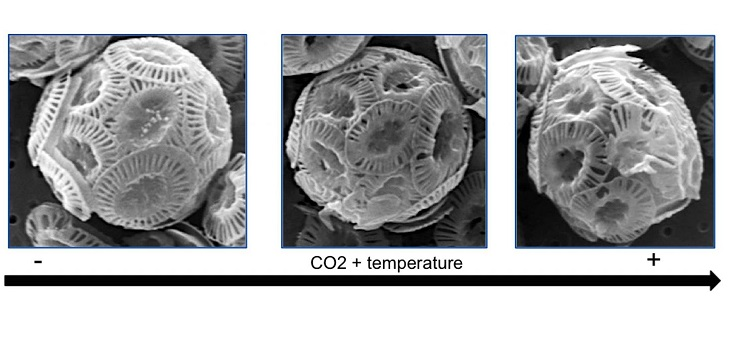 Ocean warming and acidification impact on calcareous phytoplankton