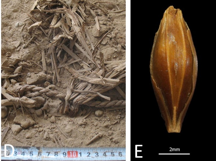 Genome of 6,000-year-old barley grains sequenced for first time