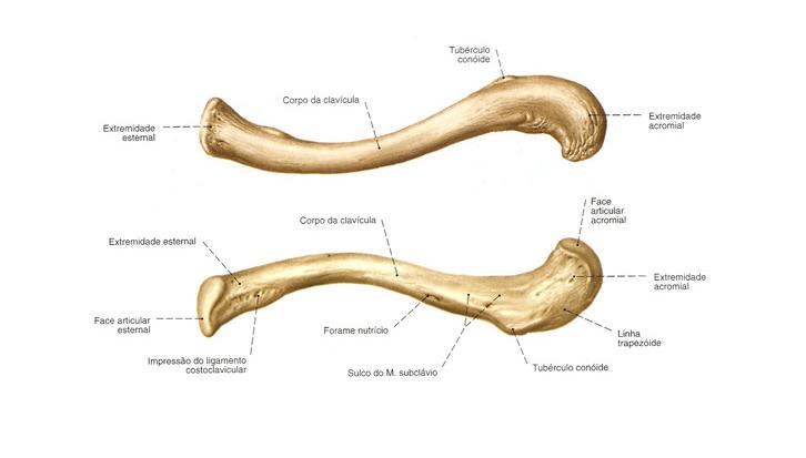 K Pr C K Kemi I Clavicula Anatomi
