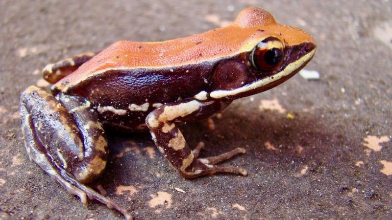 Kurbağa Derisi Üzerinde Virüsidal Sıvı Keşfedildi Hydrophylax-bahuvistara